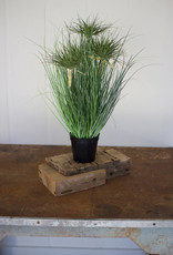 Kalalou Cyprus Grass in plastic pot