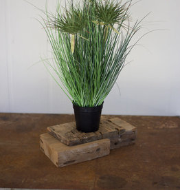 Kalalou Cyprus Grass in plastic pot