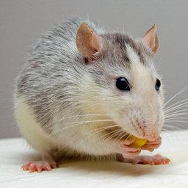 RAT CHOW