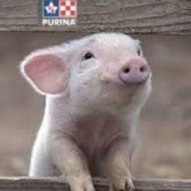 PURINA LAB MINI/POT BELLY PIG FEED 50LB