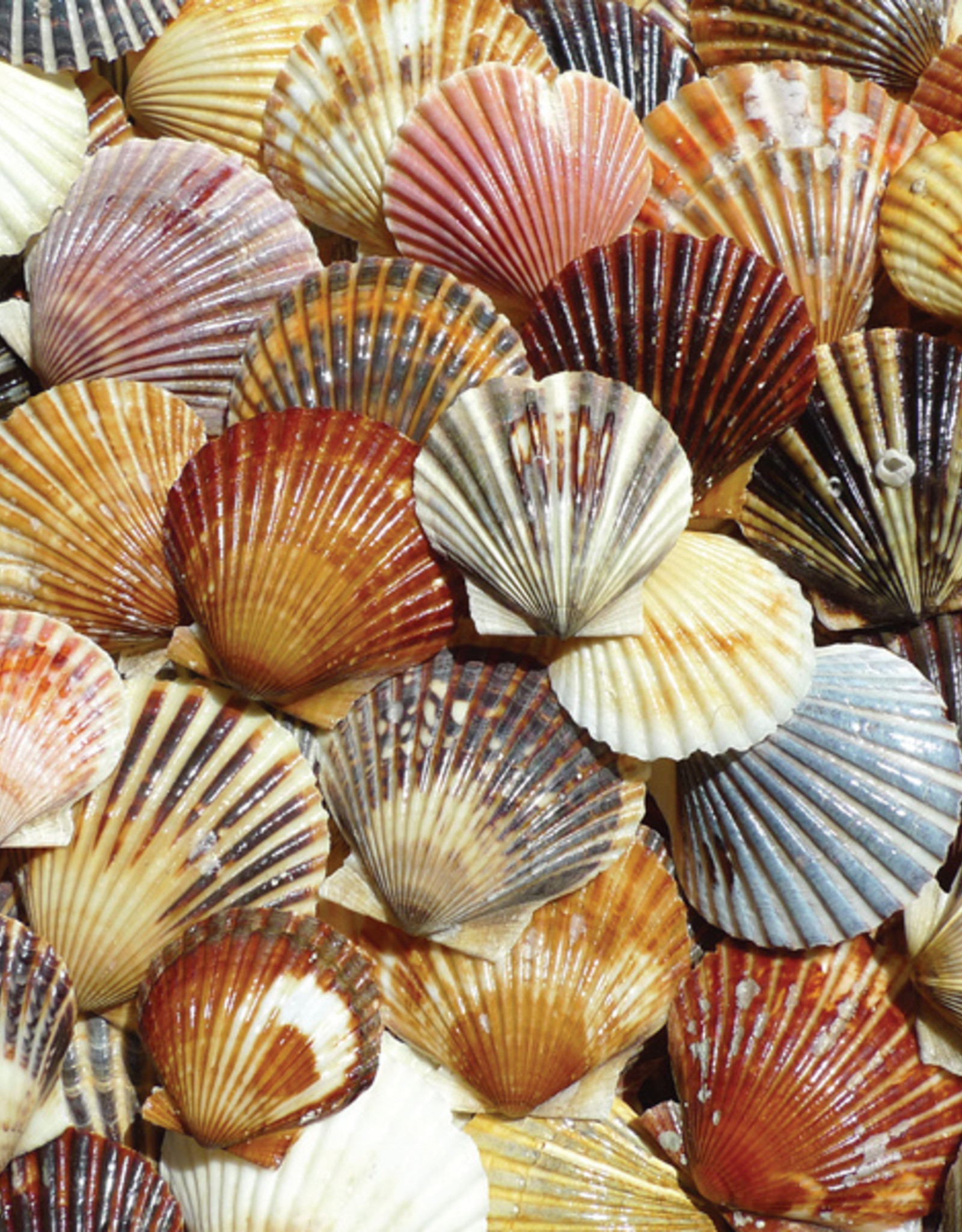 Heritage Puzzles Bay Scallop Beauties