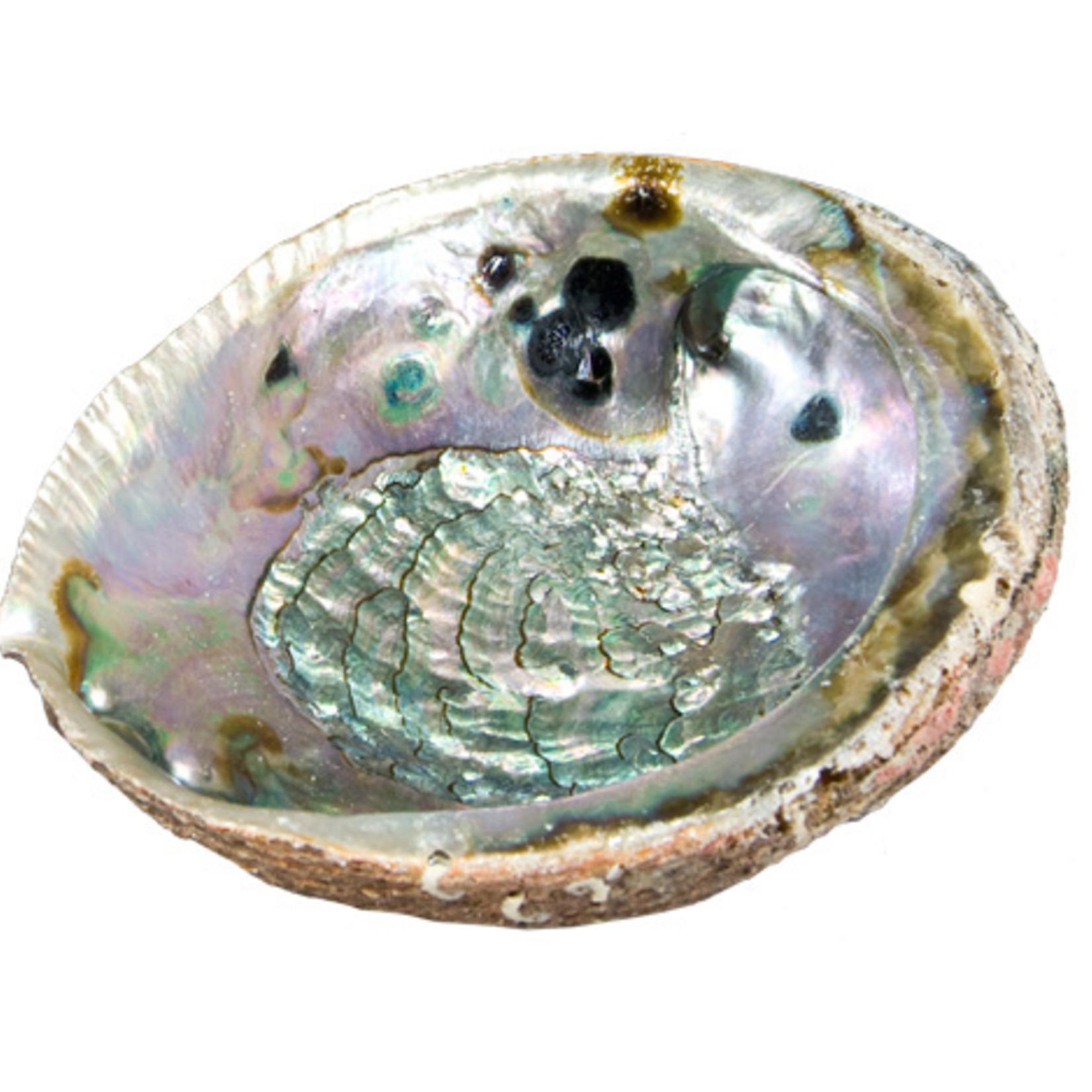"Abalone Shell Medium 4""- 5"""