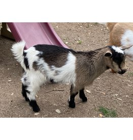 Fancy Goat Boutique Goat for Sale - Does