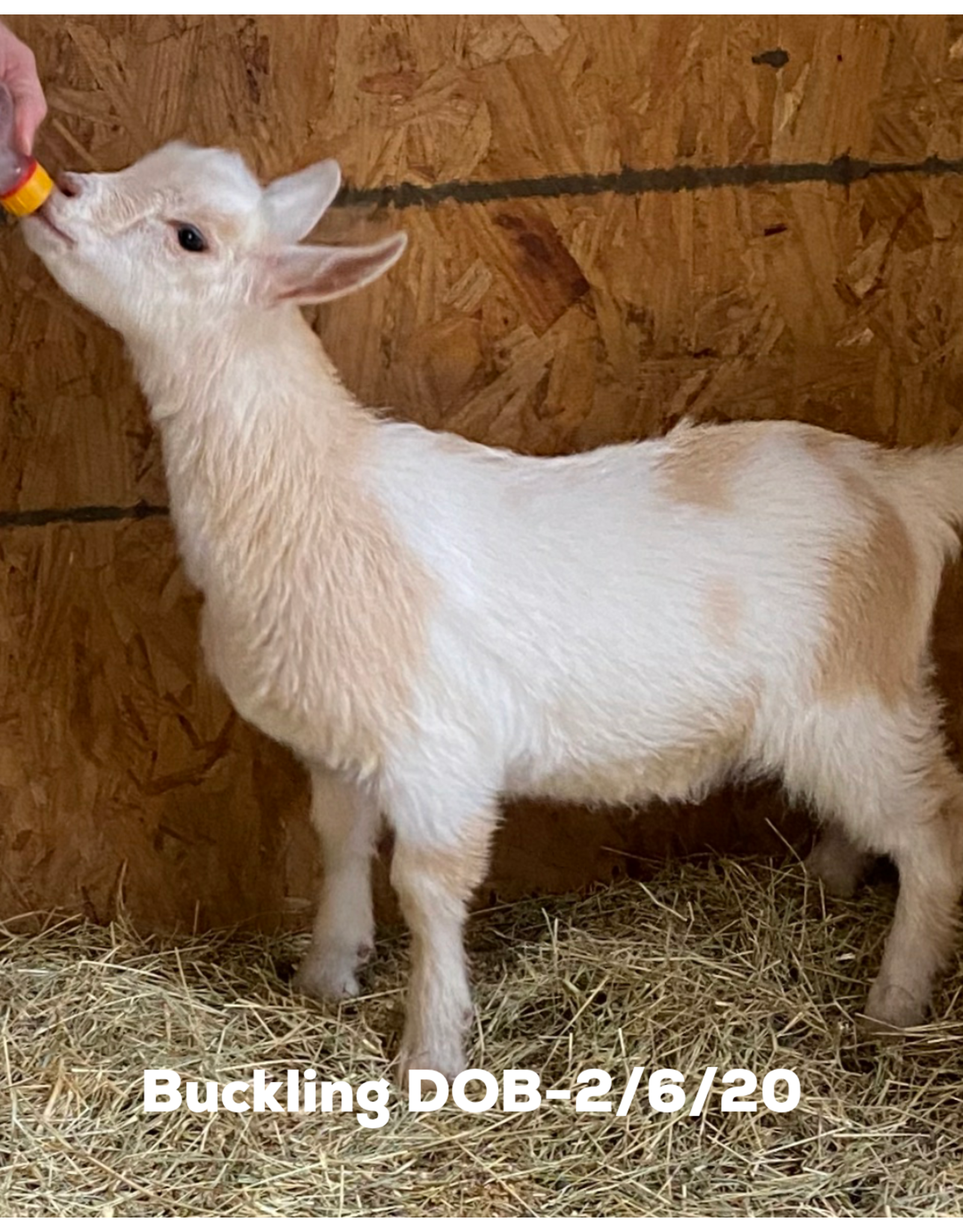 Fancy Goat Boutique Goat for Sale - Babies