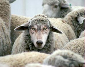 In Sheep's Clothing, Cabernet Sauvignon