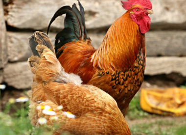 Chicken Food & Supplies