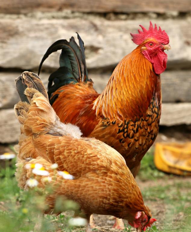Chicken Food & Supplies
