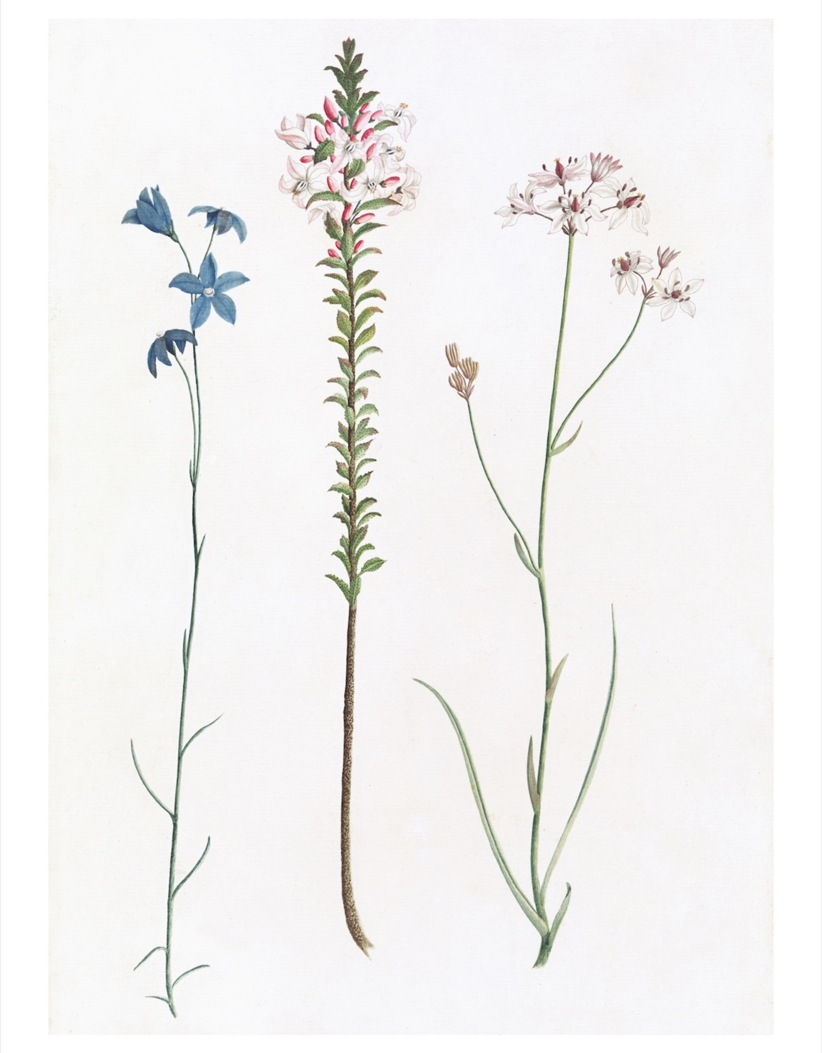 "Ornis Gallery Australian Botanicals - Series - 15""x12"" Framed"