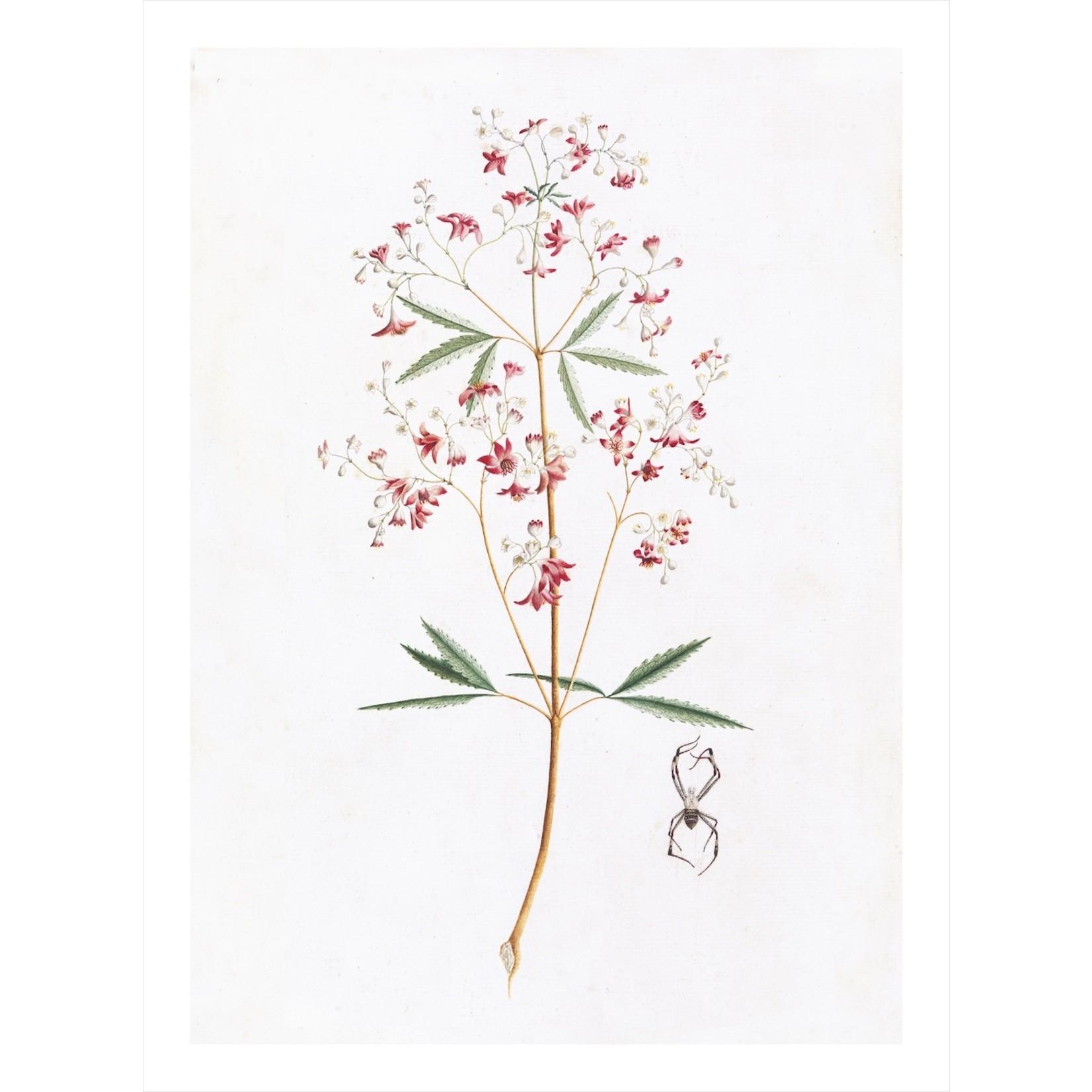 "Ornis Gallery Australian Botanicals - Series - 24""x18"" Framed"