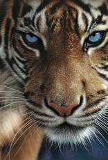1000pc Blue Eyes Tiger