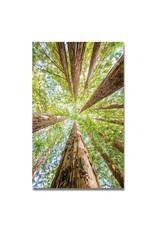 Redwoods - No. 2