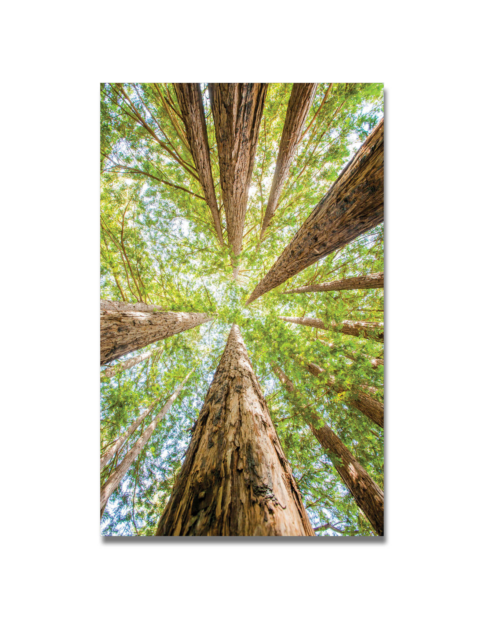 Redwoods - No. 2