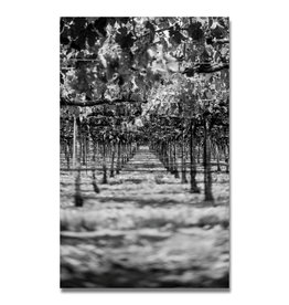 Vineyard (B&W)
