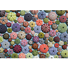 Piatnik Puzzles . PIA 1000pc, SEA URCHINS  Puzzle