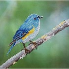 "Leisure Arts . LSA Blue Bird  - Diamond Art (Intermediate) 12"" x 12"""