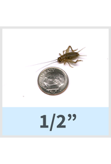 Large Crickets 10 count