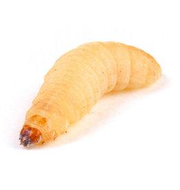Wax Worm 12 count