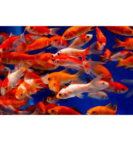 Fresh Feeder Goldfish 10ct