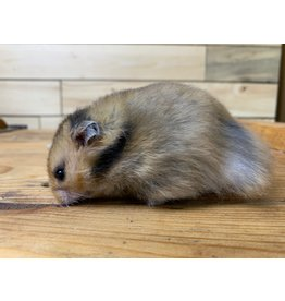 Teddy Bear Hamsters (Litter DOB: 1/8/21) Males