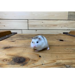 Robo Dwarf Hamsters (Litter DOB: 7/21/20) Females