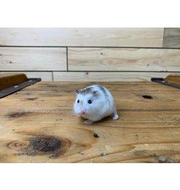 Robo Dwarf Hamsters (Litter DOB: 9/13/20) Females