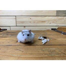 Djungarian Hamsters (Litter DOB: 5/3/20) Females