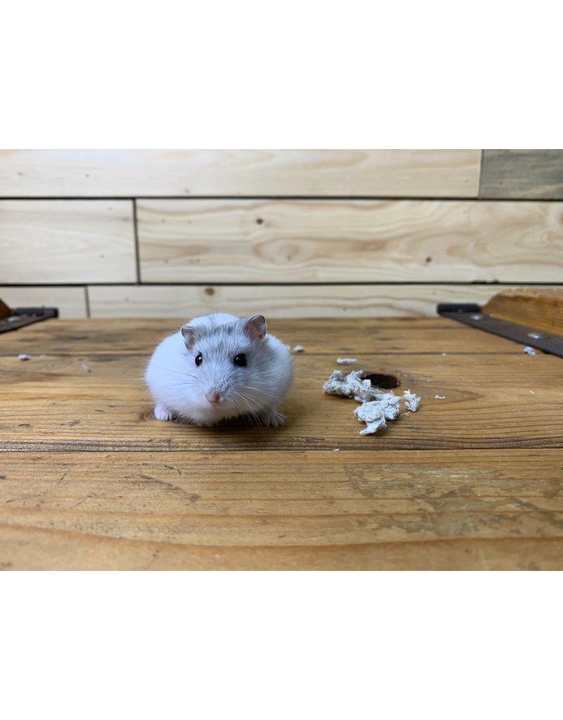 Russian Dwarf Hamsters (Litter DOB: 2/2/21) Females