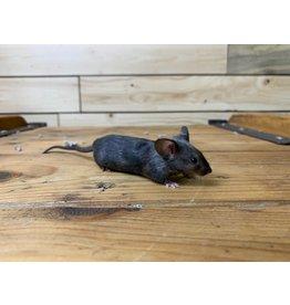 Fancy Mice (Litter DOB: 2/27/20) Females