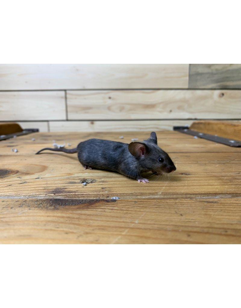 Fancy Mice (Litter DOB: 1/5/21) Females
