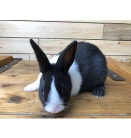 Black & White Dutch Bunny (DOB: 12/23/20)