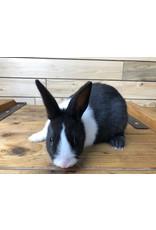Black & White Dutch Bunny (DOB: 7/23/20) Females