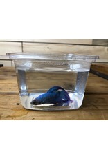 Fantail Betta (assorted colors) Males
