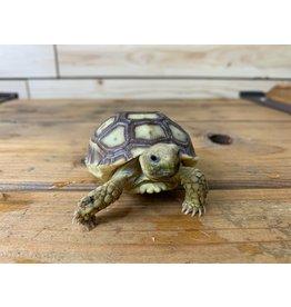 """Baby Sulcata Tortoise (4""""+)"""