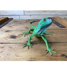 "Green Iguana (12""+)"