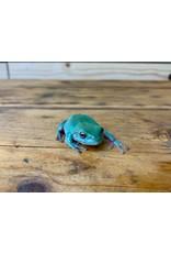 "Baby White's Tree Frog (3"")"