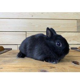 Netherland Dwarf Bunny 01 (DOB: 6/17/20)