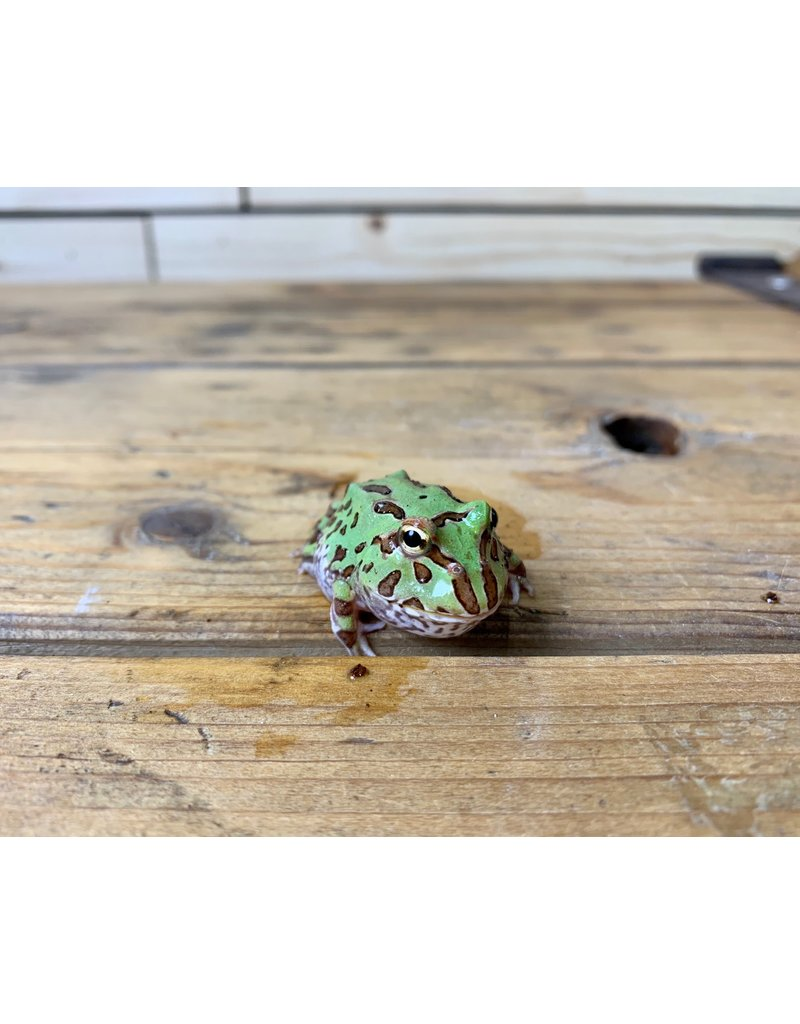 "Green Pacman Frog (1.5"")"