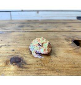 "Albino Pacman Frog (1.5"")"