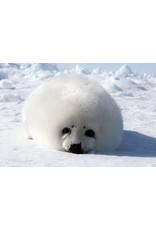 Arctic Seal Pup