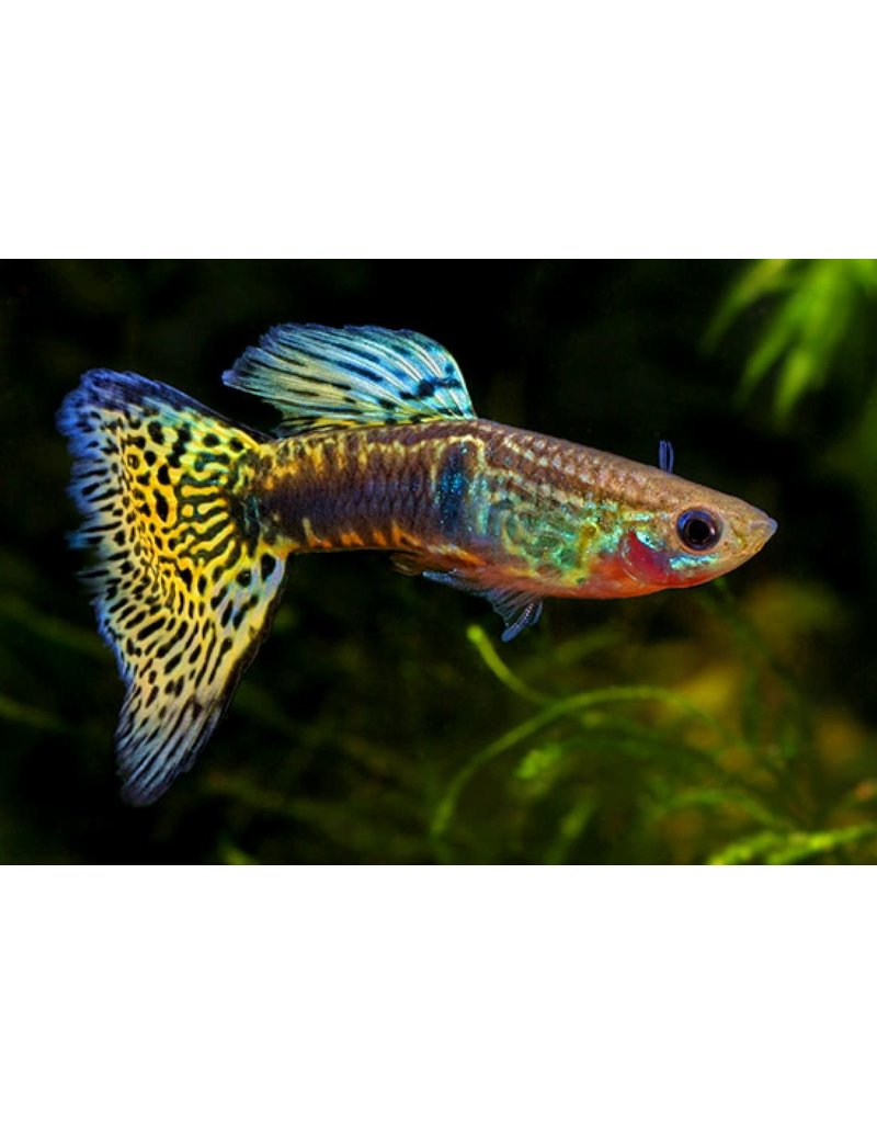 "Fancy Guppy Male 1"" (Assorted Colors)"