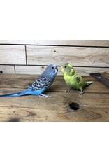 Assorted Un-Trained Parakeets