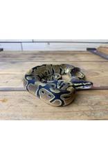 """Baby Normal Ball Python (13"""")"""