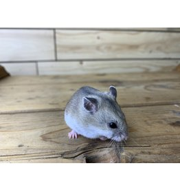 Chinese Dwarf Hamster (DOB: 4/14/20) Males