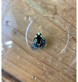 """Powder Blue Dart Frog (1"""")"""