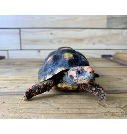"Juvenile Cherry Head Red Foot Tortoise (6"")"