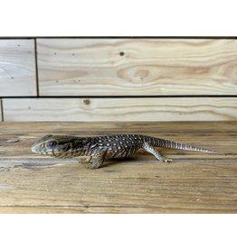 """Juvenile Savannah Monitor (6"""")"""