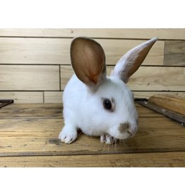 Mini Rex Bunny 07 (DOB: 5/14/20) Male