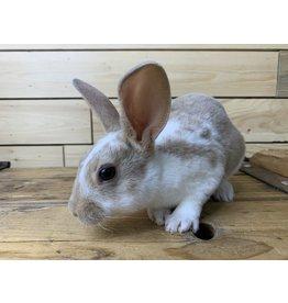 Mini Rex Bunny 08 (DOB: 5/14/20) Male