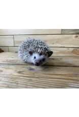 Baby Female Hedgehogs (Litter DOB: 4/8/21)