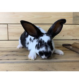 Mini Rex Bunny 01 (DOB: 7/24/20) Male